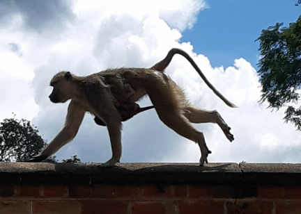 A baboon with young on a wall in Zomba