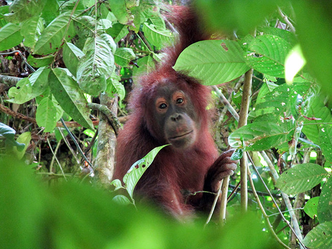 A young, fully wild, male orangutan in the Danum Valley rainforest - Photo: © Henry Grub