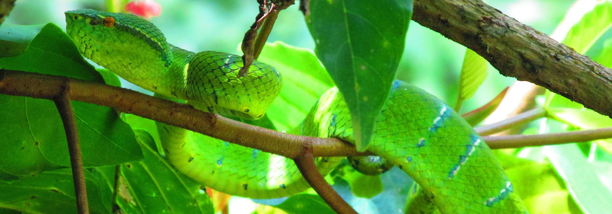 A deadly pit viper sitting motionless in a tree - Photo: © Henry Grub