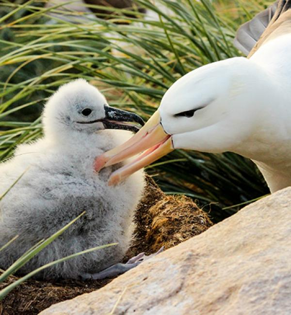 A returning albatross preens its 3-week old chick - Photo: © Natasha Gillies